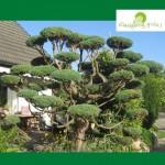 Bonsai aus einer 30 Jahren alten Hecke gestalte