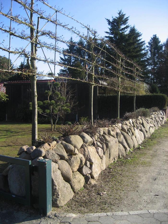Natursteinmauer mit Spalier Linden ( Tilia)