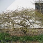 Acer palmatum Dissectum (Geschlitzter Fächer-Ahorn)