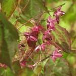 Epimendium ( Elfenblume)