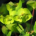 Euphorbia ( Wolfsmilch)1