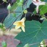 Kirengeshoma palmata ( Wachsglocke) 2